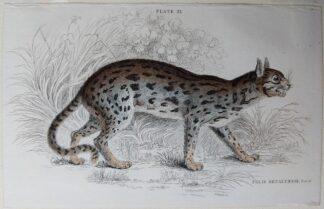 Naturalist's Library antique print of Felis Nepalensis (Nepaul Cat), by Sir William Jardine and engraver W.H. Lizars