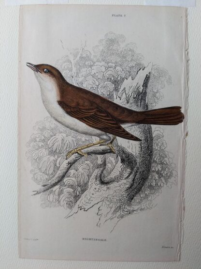 Naturalist's Library antique print of Nightingale, by Sir William Jardine and engraver W.H. Lizars