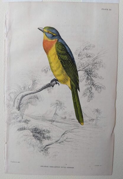 Naturalist's Library antique print of Orange Breasted Bull Shrike, by Sir William Jardine and engraver W.H. Lizars