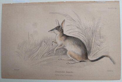 Naturalist's Library antique print of Perameles Lagotis, by Sir William Jardine and engraver W.H. Lizars