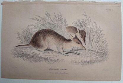 Naturalist's Library antique print of Perameles Nasuta, by Sir William Jardine and engraver W.H. Lizars
