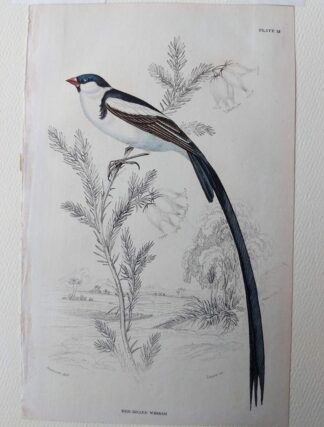 Naturalist's Library antique print of Red Billed Whidah, by Sir William Jardine and engraver W.H. Lizars
