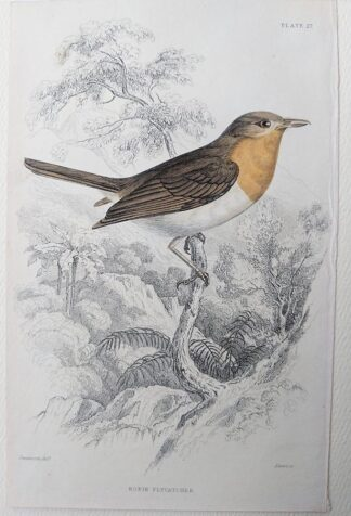 Naturalist's Library antique print of Robin Flycatcher, by Sir William Jardine and engraver W.H. Lizars