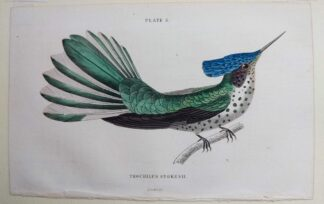 Naturalist's Library antique print of Trochilus Stokesii (Stokes Hummingbird), by Sir William Jardine and engraver W.H. Lizars