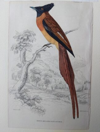 Naturalist's Library antique print of Rufus-bellied Flycatcher, by Sir William Jardine and engraver W.H. Lizars