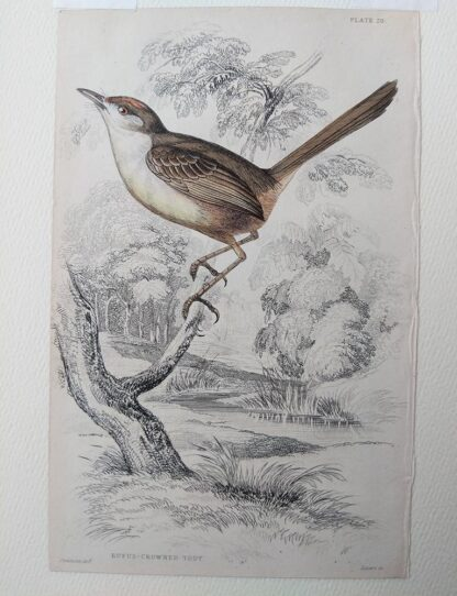 Naturalist's Library antique print of Rufus-crowned Tody, by Sir William Jardine and engraver W.H. Lizars
