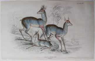 Naturalist's Library antique print of Salt's Antelope, by Sir William Jardine and engraver W.H. Lizars