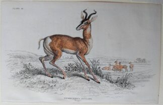 Naturalist's Library antique print of Scemmering's Antelope, by Sir William Jardine and engraver W.H. Lizars
