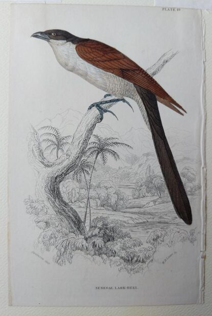 Naturalist's Library antique print of Senegal Lark-heel, by Sir William Jardine and engraver W.H. Lizars