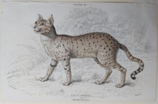Naturalist's Library antique print of Felis Ornata (Servalina Cat), by Sir William Jardine and engraver W.H. Lizars