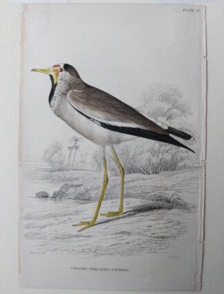 Naturalist's Library antique print of Striped-Throated Lapwing, by Sir William Jardine and engraver W.H. Lizars