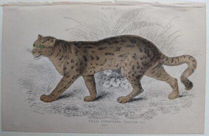 Naturalist's Library antique print of Felis Sumatrana (Sumatran Cat), by Sir William Jardine and engraver W.H. Lizars