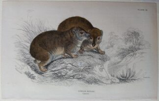 Naturalist's Library antique print of Syrian Hyrax, by Sir William Jardine and engraver W.H. Lizars