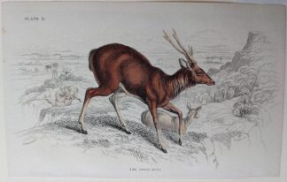 Naturalist's Library antique print of The Great Rusa, by Sir William Jardine and engraver W.H. Lizars