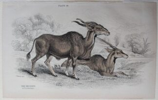 Naturalist's Library antique print of The Impoopo (Elk Antelope), by Sir William Jardine and engraver W.H. Lizars