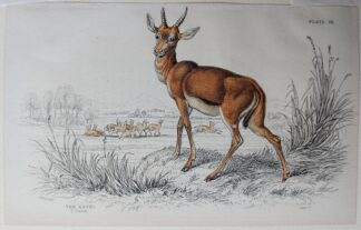 Naturalist's Library antique print of The Kevel, by Sir William Jardine and engraver W.H. Lizars