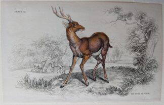 Naturalist's Library antique print of The Rusa of Timor, by Sir William Jardine and engraver W.H. Lizars
