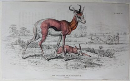 Naturalist's Library antique print of The Springer or Springbock, by Sir William Jardine and engraver W.H. Lizars