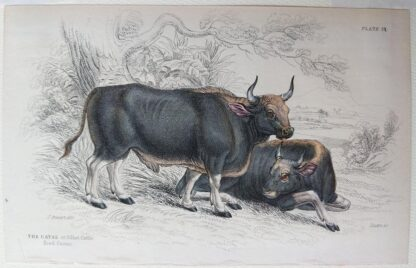 Naturalist's Library antique print of The Gayal (Silhet Cattle), by Sir William Jardine and engraver W.H. Lizars