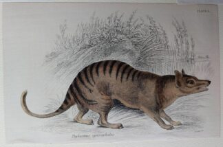 Naturalist's Library antique print of Thylacinus Cynopephalus (Marsupial), by Sir William Jardine and engraver W.H. Lizars