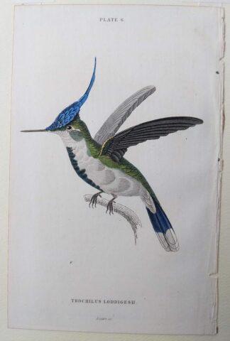 Naturalist's Library antique print of Trochilus Loddigesh (Loddiges Hummingbird), by Sir William Jardine and engraver W.H. Lizars