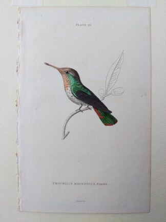 Naturalist's Library antique print of Trochilus Magnificus (Magnificent Hummingbird), by Sir William Jardine and engraver W.H. Lizars