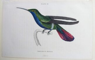 Naturalist's Library antique print of Trochilus Mango (Mango Hummingbird), by Sir William Jardine and engraver W.H. Lizars