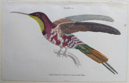 Naturalist's Library antique print of Trochilus Pella (Topaz-throated Hummingbird), by Sir William Jardine and engraver W.H. Lizars