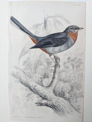 Naturalist's Library antique print of Whiskered Fantail, by Sir William Jardine and engraver W.H. Lizars