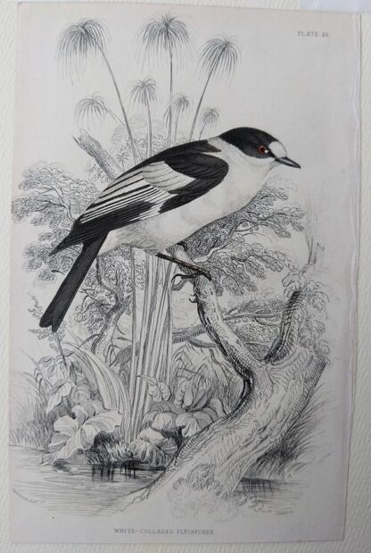 Naturalist's Library antique print of White-collared Flycatcher, by Sir William Jardine and engraver W.H. Lizars