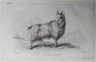 Naturalist's Library antique print of Wool Bearing Antelope, by Sir William Jardine and engraver W.H. Lizars