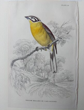Naturalist's Library antique print of Yellow Bellied or Cape Bunting, by Sir William Jardine and engraver W.H. Lizars
