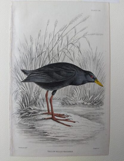 Naturalist's Library antique print of Yellow-billed Waterhen, by Sir William Jardine and engraver W.H. Lizars