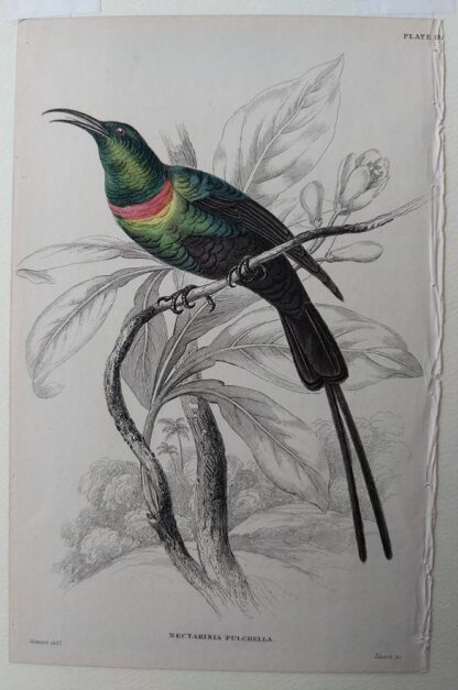 Naturalist's Library antique print of Nectarinia Pulchella (Red-breasted Sun Bird), by Sir William Jardine and engraver W.H. Lizars