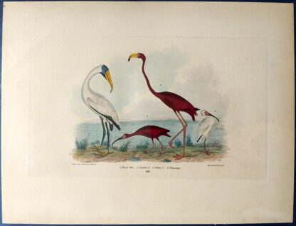 Wilson antique plate 66 of Wood Ibis, Scarlet Ibis, White Ibis, Flamingo