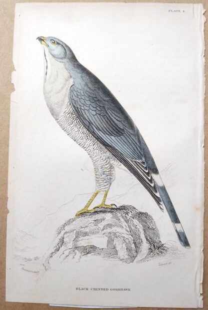 Naturalist's Library antique print of Black Chinned Gosshawk, by Sir William Jardine and engraver W.H. Lizars