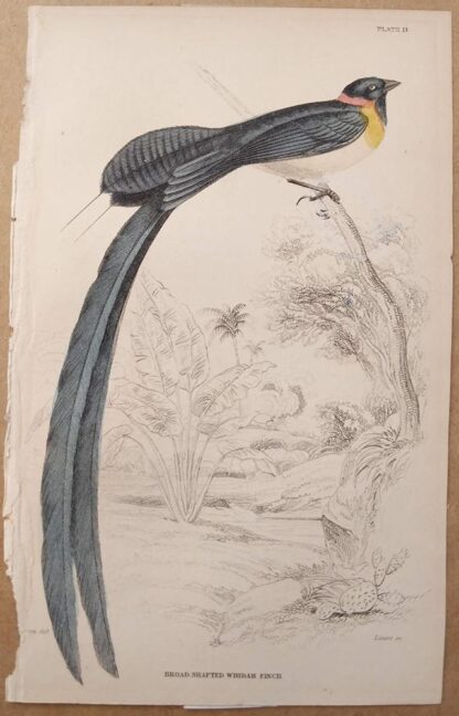 Naturalist's Library antique print of Broad Shafted Whidah Finch, by Sir William Jardine and engraver W.H. Lizars
