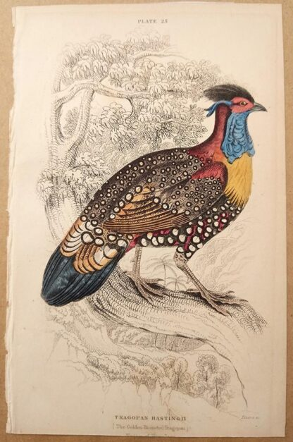 Naturalist's Library antique print of Golden-breasted Tragopan, by Sir William Jardine and engraver W.H. Lizars