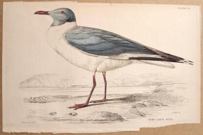 Naturalist's Library antique print of Grey Cap'd Gull, by Sir William Jardine and engraver W.H. Lizars