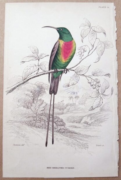 Naturalist's Library antique print of Red-breasted Sunbird, by Sir William Jardine and engraver W.H. Lizars