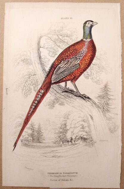 Naturalist's Library antique print of Ring-Necked Pheasant, by Sir William Jardine and engraver W.H. Lizars