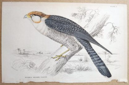 Naturalist's Library antique print of Rufous Necked Falcon, by Sir William Jardine and engraver W.H. Lizars