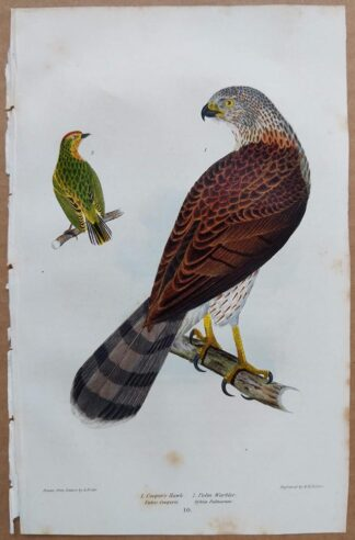 Continuation Plate 10 of Coopers Hawk, Palm Warbler from American Ornithology by Alexander Wilson, 1832