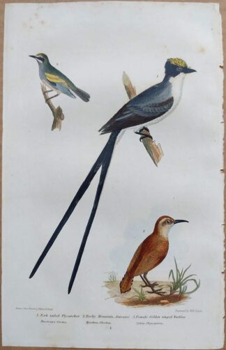 Continuation Plate 1 of Fork-tailed Flycatcher Rocky Mountain Anteater, Female Golden Winged Warbler from American Ornithology by Alexander Wilson, 1832