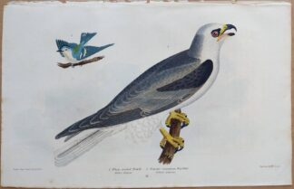 Continuation Plate 11 of White-tailed Hawk, Cerulean Warbler from American Ornithology by Alexander Wilson, 1832
