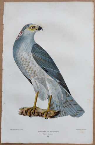 Continuation Plate 12 of Blue Hawk from American Ornithology by Alexander Wilson, 1832