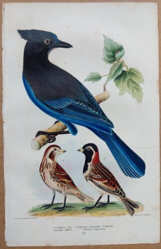 Continuation Plate 13 of Steller's Jay, Larkspur from American Ornithology by Alexander Wilson, 1832