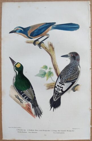 Continuation Plate 14 of Florida Jay, Northern and Red-headed Woodpeckers from American Ornithology by Alexander Wilson, 1832