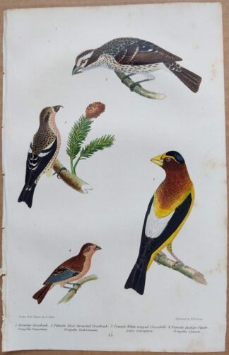 Continuation Plate 15 of Evening Grosbeak, Indigo Finch from American Ornithology by Alexander Wilson, 1832