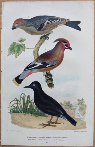 Continuation Plate 16 of Pallas Dipper, Bohemian Waxwing, Bullfinch from American Ornithology by Alexander Wilson, 1832